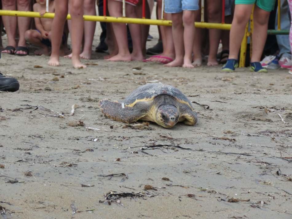 Más de medio millar de personas participa en la suelta de tortugas marinas en la playa Punta del Raset