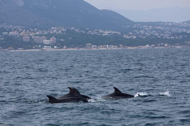 Un equip d'observació marina que estudia el litoral denier registra tres grups de dofins...
